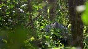 El rinoceronte Unicornis del rinoceronte indio, también llamó el mayor rinoceronte Uno-de cuernos que caminaba en bosque almacen de video