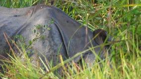 El rinoceronte Unicornis del rinoceronte indio, también llamó el mayor rinoceronte Uno-de cuernos que pastaba en hierba metrajes