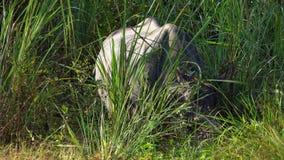 El rinoceronte Unicornis del rinoceronte indio, también llamó el mayor rinoceronte Uno-de cuernos que pastaba en hierba almacen de video