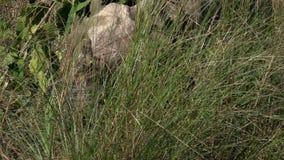 El rinoceronte Unicornis del rinoceronte indio, también llamó el mayor rinoceronte Uno-de cuernos que se colocaba en hierba alta almacen de metraje de vídeo