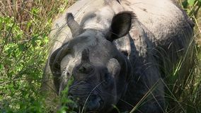 El rinoceronte Unicornis del rinoceronte indio, también llamó el mayor rinoceronte Uno-de cuernos que se colocaba en hierba alta almacen de video