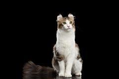 El rizo americano Cat Breed, sentándose en negro aisló el fondo Fotografía de archivo