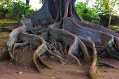 El rizoma gigantesco del árbol viejo está resaltando sobre la tierra Fotografía de archivo libre de regalías