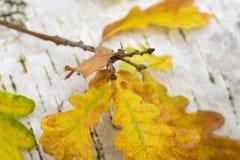 El roble amarillo del otoño se va en fondo de la corteza de abedul Imágenes de archivo libres de regalías