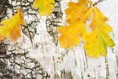 El roble amarillo del otoño se va en fondo de la corteza de abedul Imagen de archivo libre de regalías