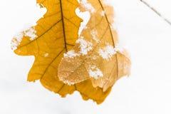 El roble amarillo se va en un fondo de la nieve blanca Imagen de archivo