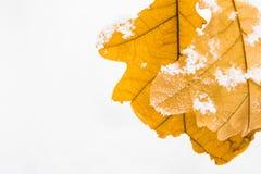 El roble amarillo se va en un fondo de la nieve blanca Fotografía de archivo libre de regalías