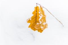 El roble amarillo se va en un fondo de la nieve blanca Imágenes de archivo libres de regalías