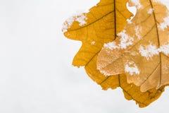 El roble amarillo se va en un fondo de la nieve blanca Fotografía de archivo