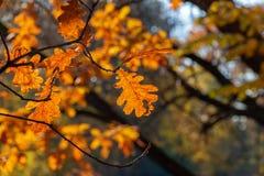 El roble amarillo se va sobre el agua en luz del sol brillante Parque soleado del otoño fotos de archivo