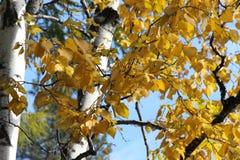 El roble con follaje de oro y el alerce verde en un fondo del cielo azul/del otoño ajardinan en un parque/ Imagen de archivo
