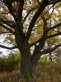 El roble corpulento con el tronco ramificado, con las hojas otoño-coloreadas imágenes de archivo libres de regalías