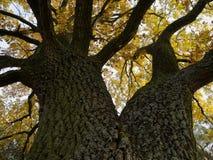 El roble corpulento con el tronco ramificado, con las hojas otoño-coloreadas, visión hasta la corona del árbol imagen de archivo
