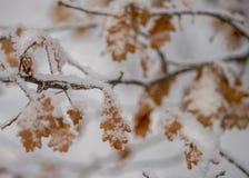 El roble de los alquileres se va en hoja del roble de la nieve en la nieve fotos de archivo libres de regalías