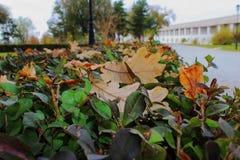 El roble de los arbustos del otoño sale de la pared amarilla noviembre tranquilidad cubierta y fresca de la tarde Imágenes de archivo libres de regalías