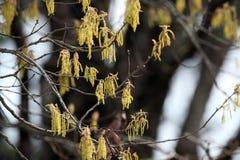 El roble florece el polen de la primavera Imagen de archivo libre de regalías