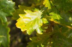 El roble hermoso se va en una rama de árbol en otoño temprano Imagen de archivo libre de regalías