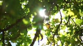El roble otoñal sale de verano tardío almacen de video