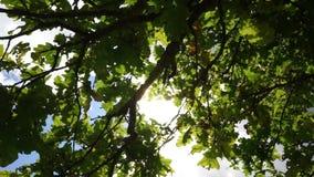 El roble otoñal sale de verano tardío sunbeams almacen de metraje de vídeo