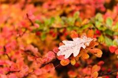 El roble rojo y amarillo deja caer abajo en la tierra en otoño Fotografía de archivo