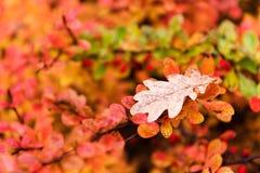 El roble rojo y amarillo deja caer abajo en la tierra en otoño Foto de archivo libre de regalías