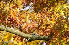 El roble sale de festival del otoño imagen de archivo libre de regalías