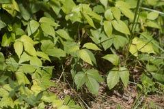 El roble venenoso planta el Toxicodendron en Alabama Fotos de archivo