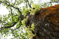 El roble verde Foto de archivo