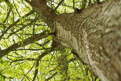El roble verde Fotografía de archivo