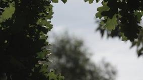 El roble verde deja la ocsilación en el día de verano de la brisa almacen de video