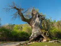 El roble viejo de Sveti Petar en un día soleado en primavera fotografía de archivo