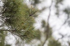 El rocío en el pino como fondo Imagen de archivo libre de regalías
