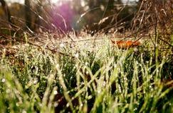 El rocío retroiluminado cubrió chispas de la hierba en el sol de la mañana Fotografía de archivo