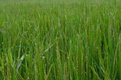 El rocío sale de las hojas del arroz Fotos de archivo libres de regalías