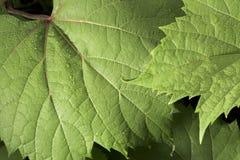 El rocío cubrió la hoja salvaje de la uva Fotografía de archivo