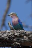 El rodillo breasted lila encaramó una ramificación de árbol Foto de archivo libre de regalías