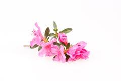 El rododendro florece la composición Imagen de archivo