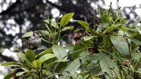 El rododendro sostiene el colibrí minúsculo en día lluvioso almacen de metraje de vídeo