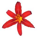 El rojo agradable lilly aisló fotos de archivo