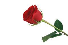 El rojo aislado se levantó en el fondo blanco Foto de archivo libre de regalías