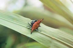 El rojo asombroso descascó el paseo de la araña en la hoja fotografía de archivo libre de regalías