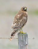 El rojo ató el halcón en el poste de la cerca que buscaba la presa, sur grande, califor Fotos de archivo libres de regalías