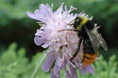 El rojo atado manosea la abeja (el lapidarius del Bombus) Imágenes de archivo libres de regalías