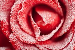 El rojo congelado se levantó en la helada blanca Imágenes de archivo libres de regalías