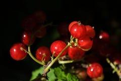 El rojo currantRed la pasa producida en su propio jardín Foto de archivo libre de regalías