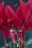 El rojo cyclamen Imagen de archivo libre de regalías