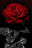 El rojo de la belleza se levantó Imagen de archivo libre de regalías