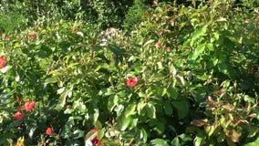 El rojo de la primavera subió las flores en parque almacen de metraje de vídeo