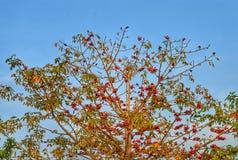 El rojo deja el árbol Fotos de archivo
