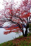 El rojo deja el árbol en la orilla del lago en el otoño, imagen de archivo